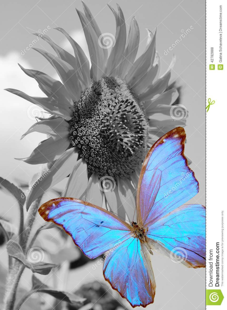 Sunflower And Blue Butterfly Stock Photo - Image: 42782888