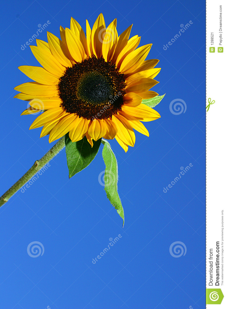 SUNFLOWER AND BLUE SKY Stock Image - Image: 1288521