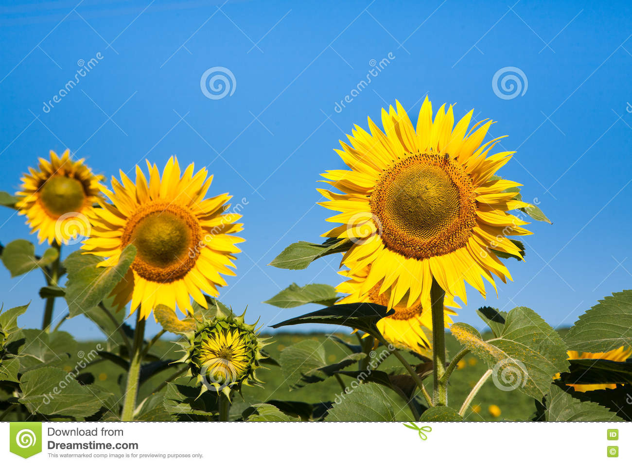 Sunflower oil production business plan