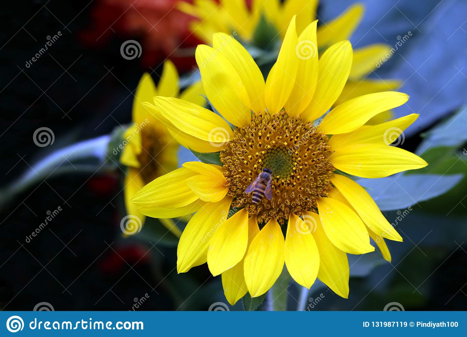 Sunflower and a bumble bee