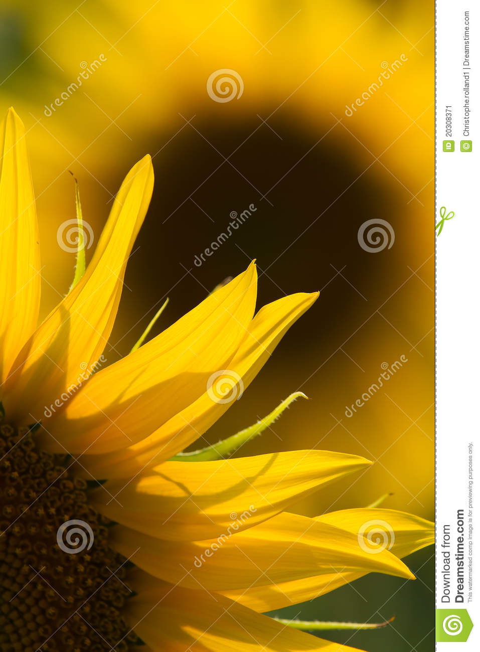 Download Sunflower close up stock image. Image of green, leaf - 20308371