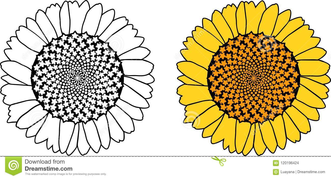 Sunflower coloring page stock vector. Illustration of line ...