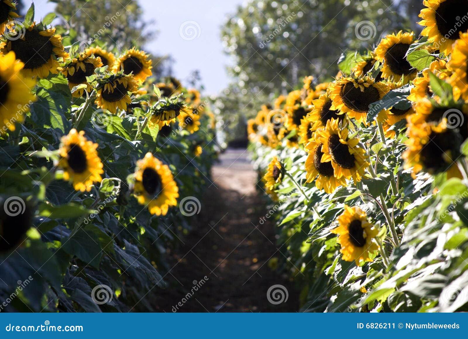A Sample Sunflower Farming Business Plan Template