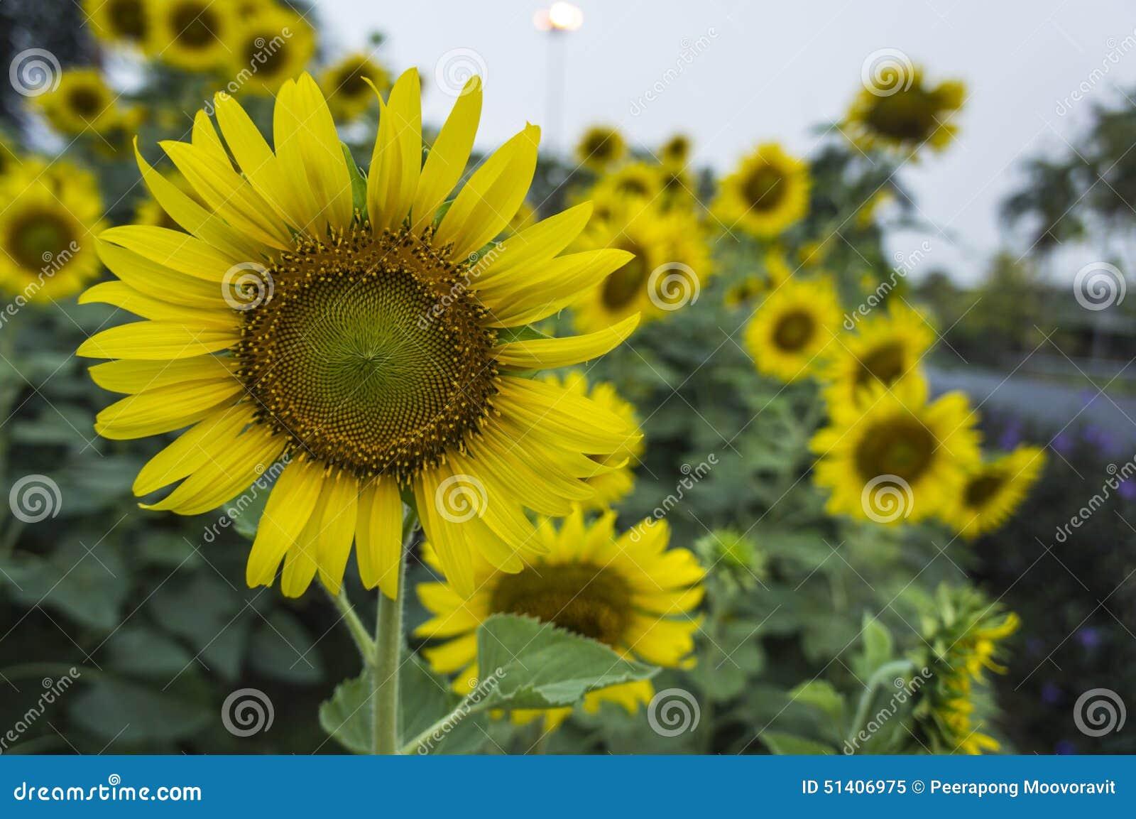 Start a Sunflower Farm
