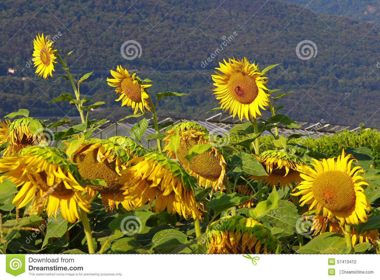 sunflower farming business plan