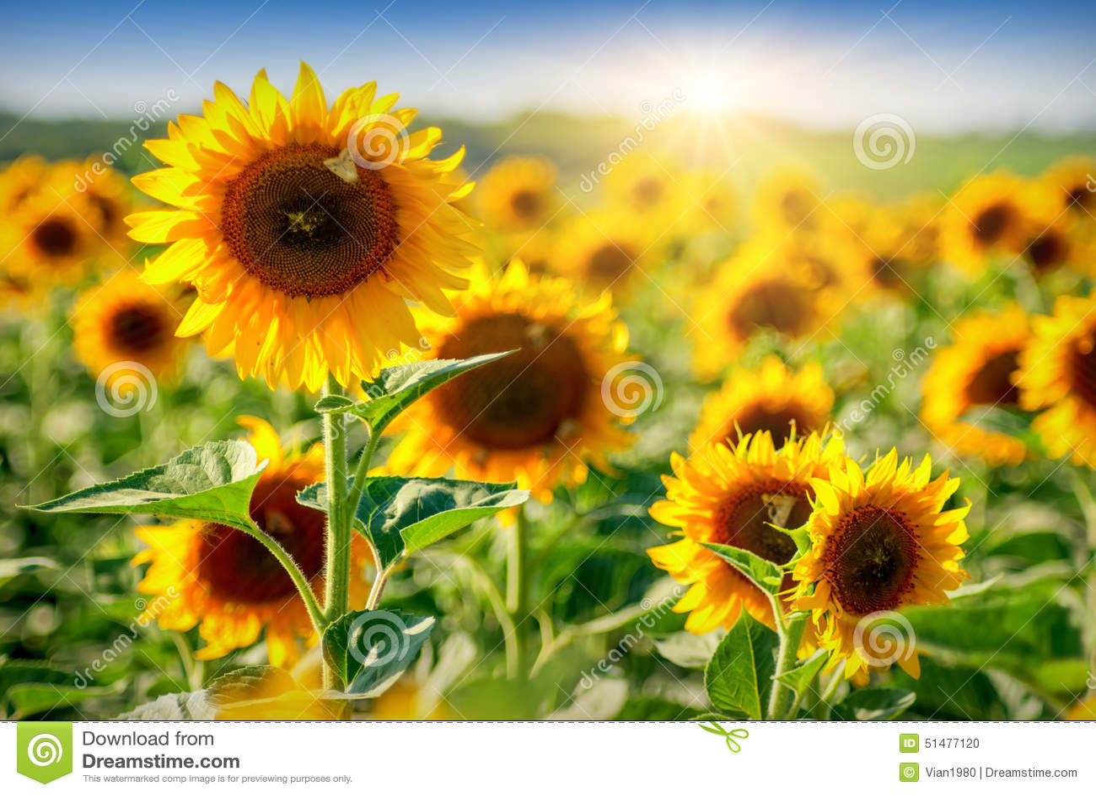 Sunflower_field 3