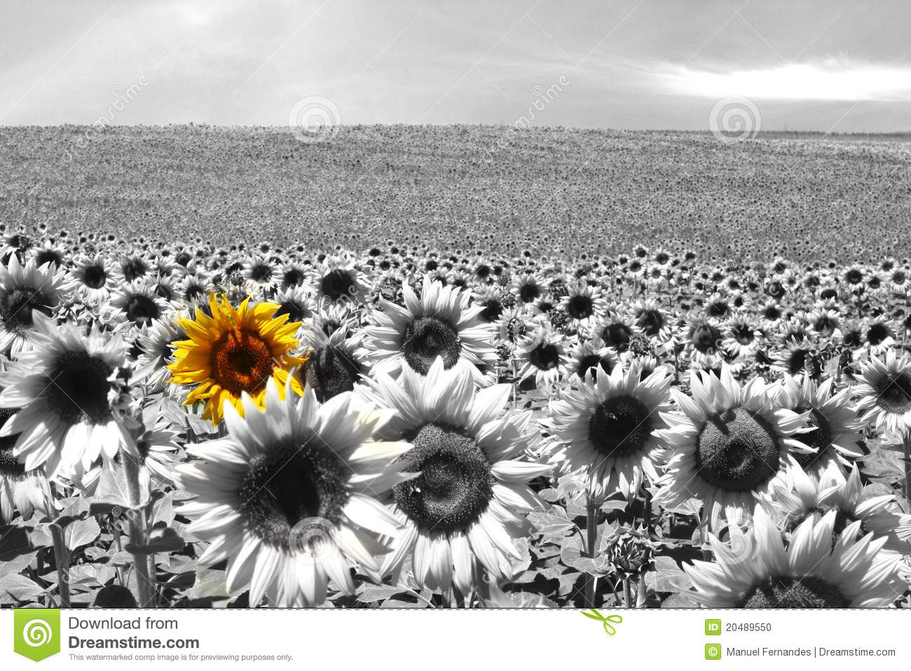 Sunflower Field Black White Stock Photo 20489550 Megapixl