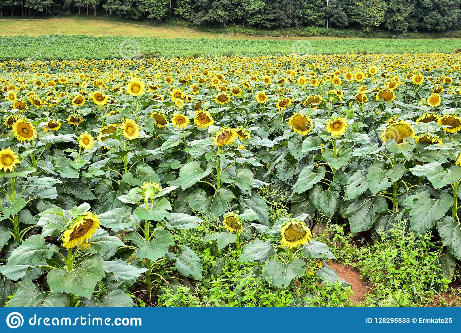 A blooming sunflower field, Jasper, Georgia, USA