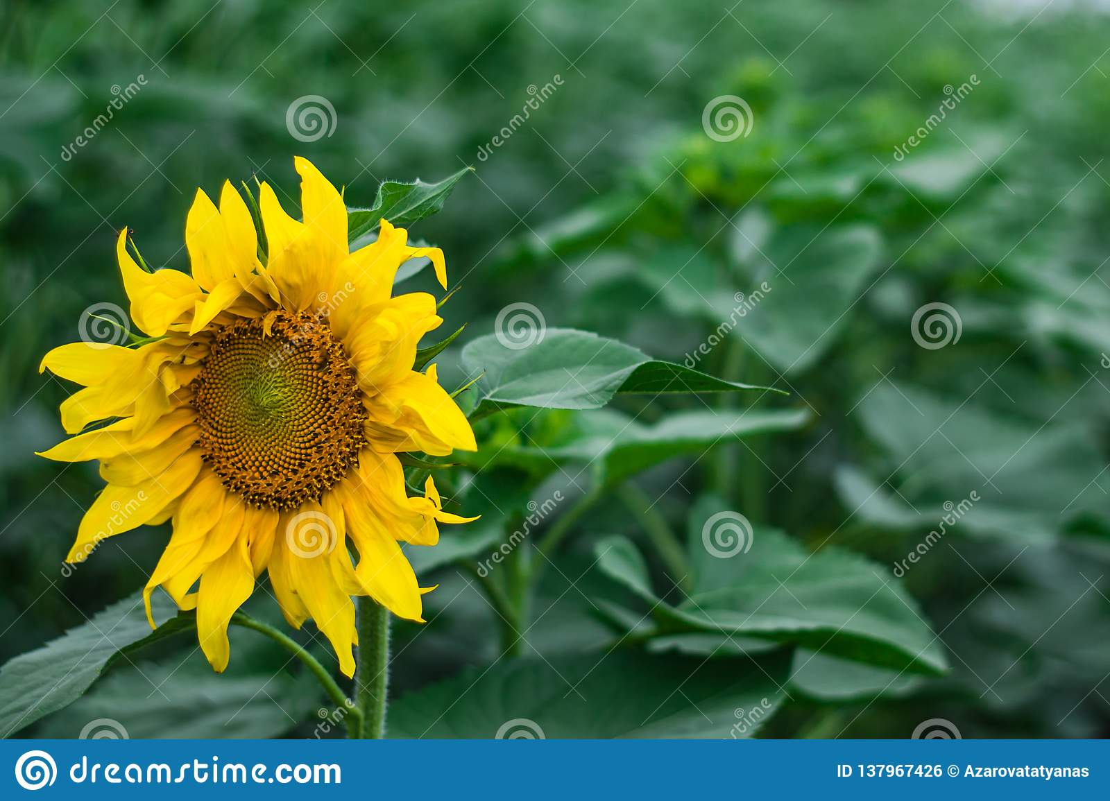 Sunflower field natural green on green background. Spring nature scene, green grass field. Rural grass field landscape.