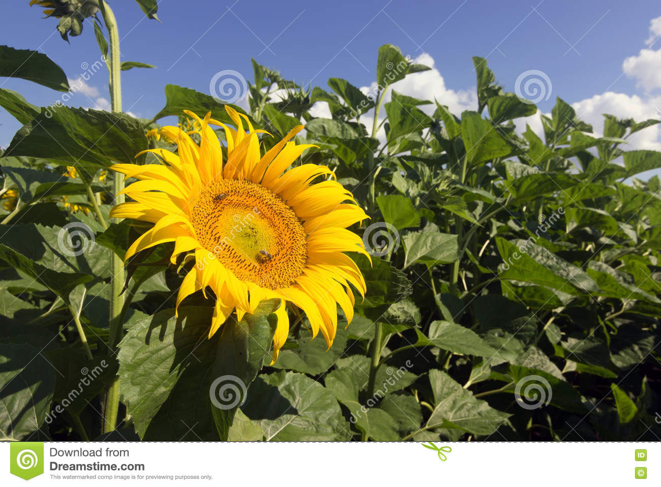 sunflower field picture blooming - photo #33