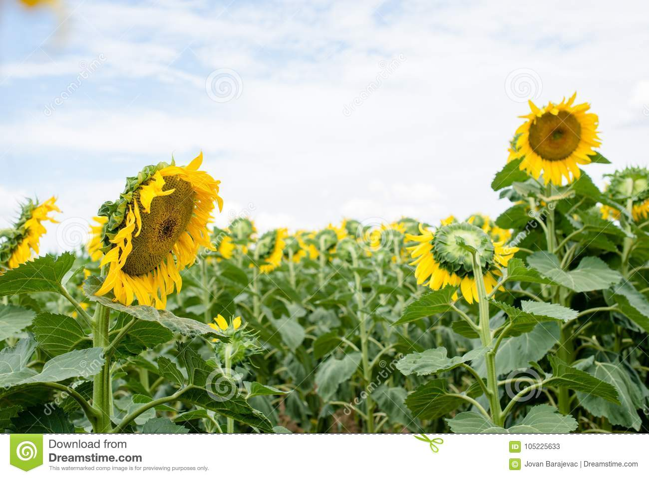 Sunflower Field On A Sunny Day Stock Image