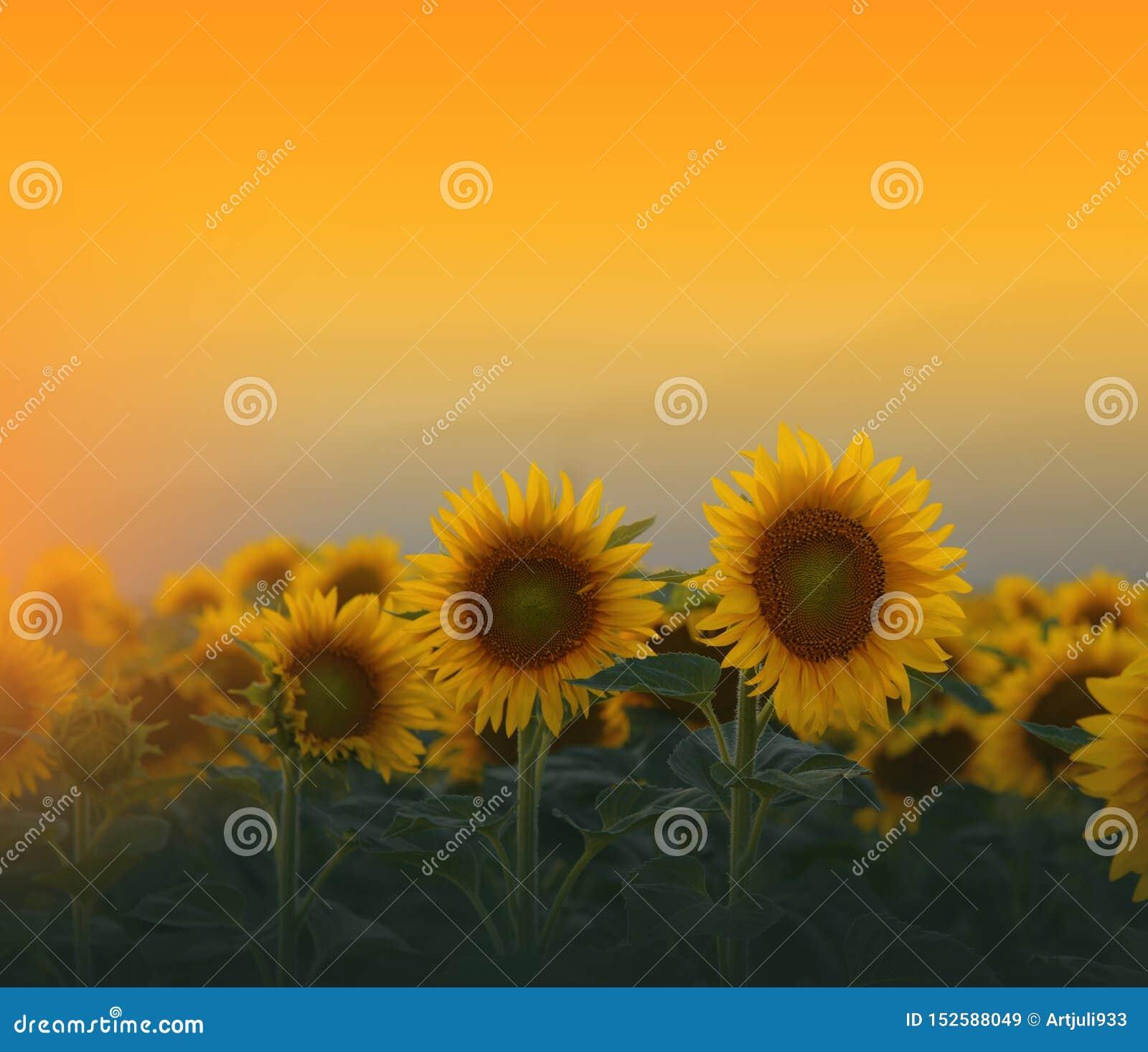 Sunflower Field At Sunsetbeautiful Orange Nature Background