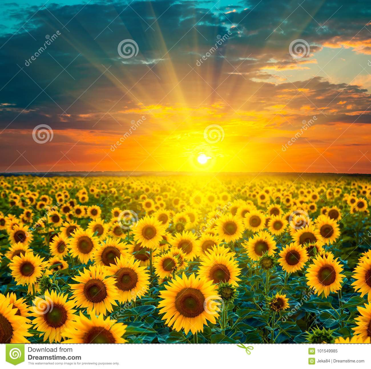 Sunflower fields during sunset. Beautiful composite of a sunrise