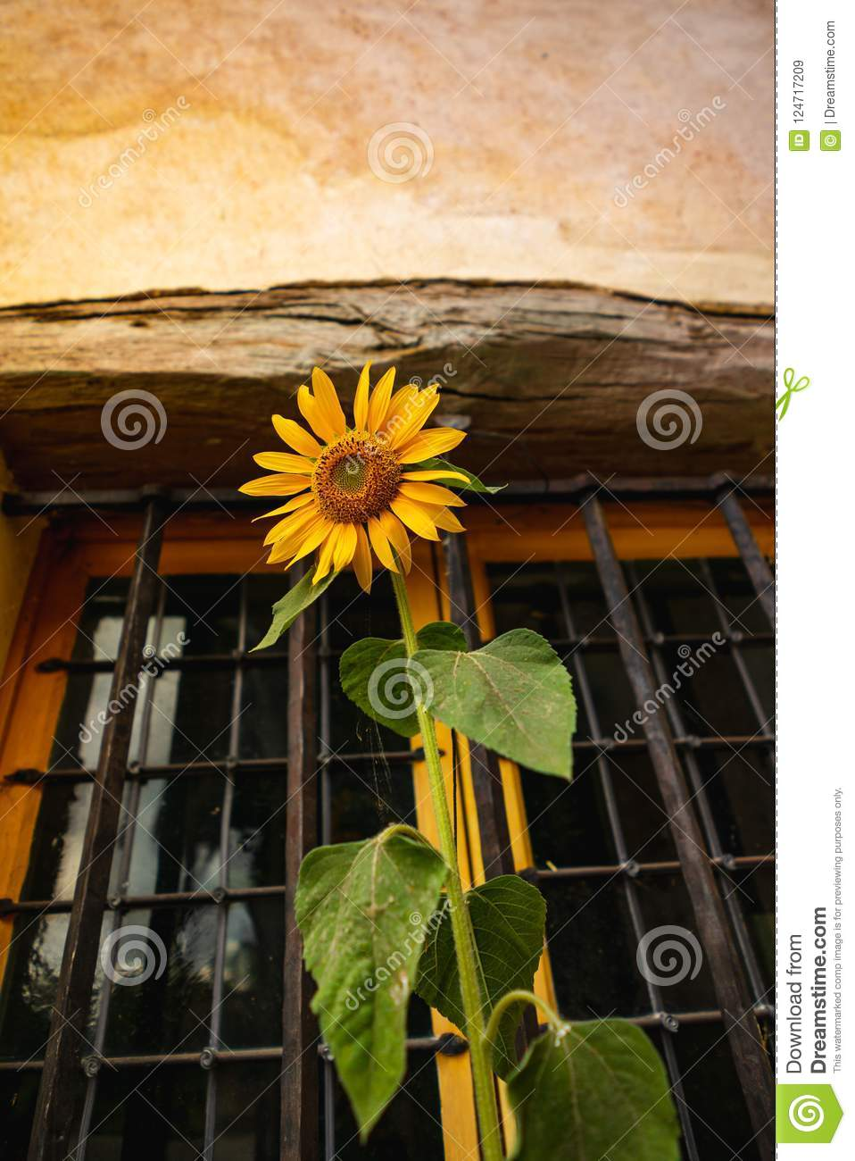 Sunflower flower on window