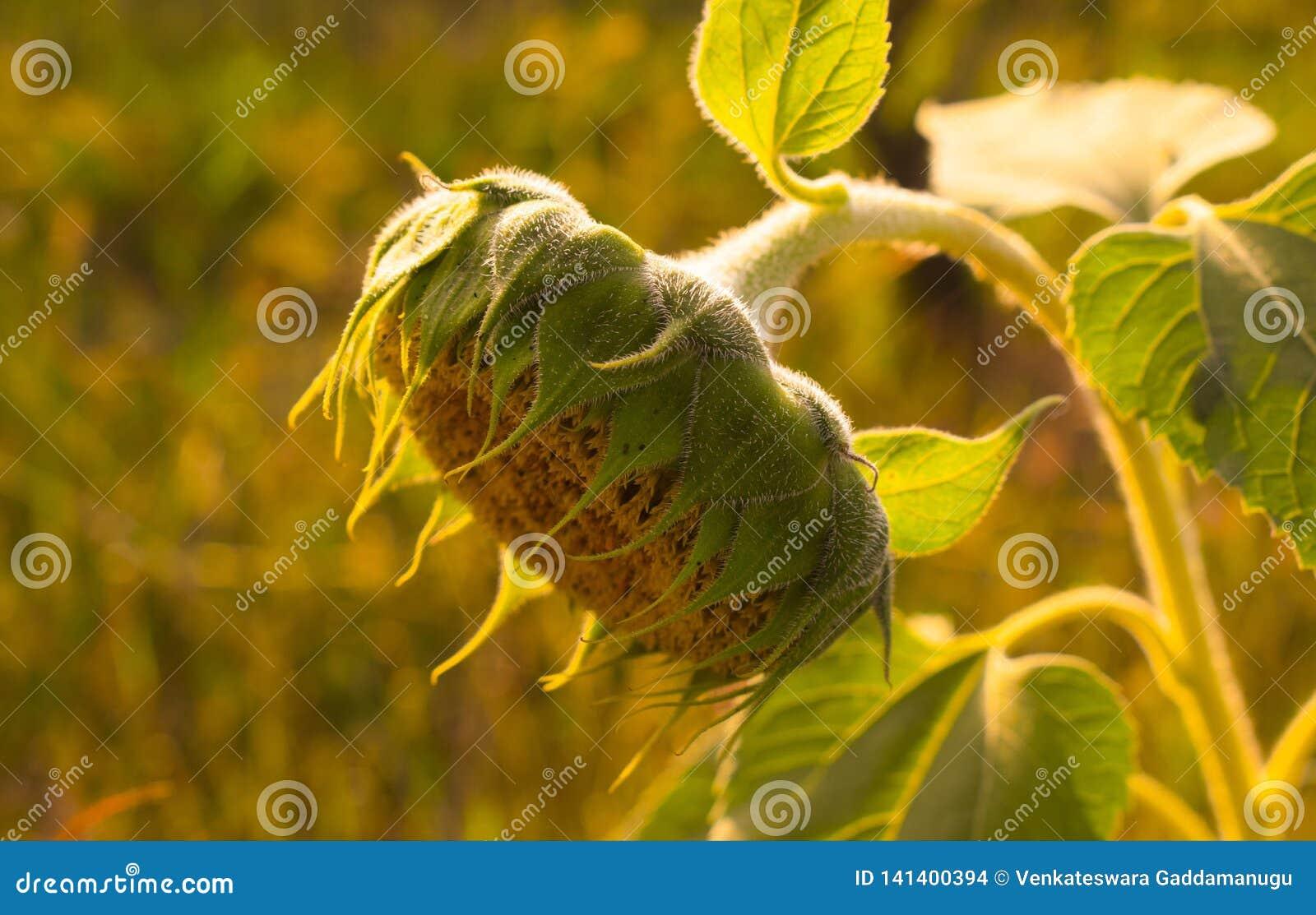 Sunflower Stock Photo Image Of Fashion Sunflower Photo 141400394