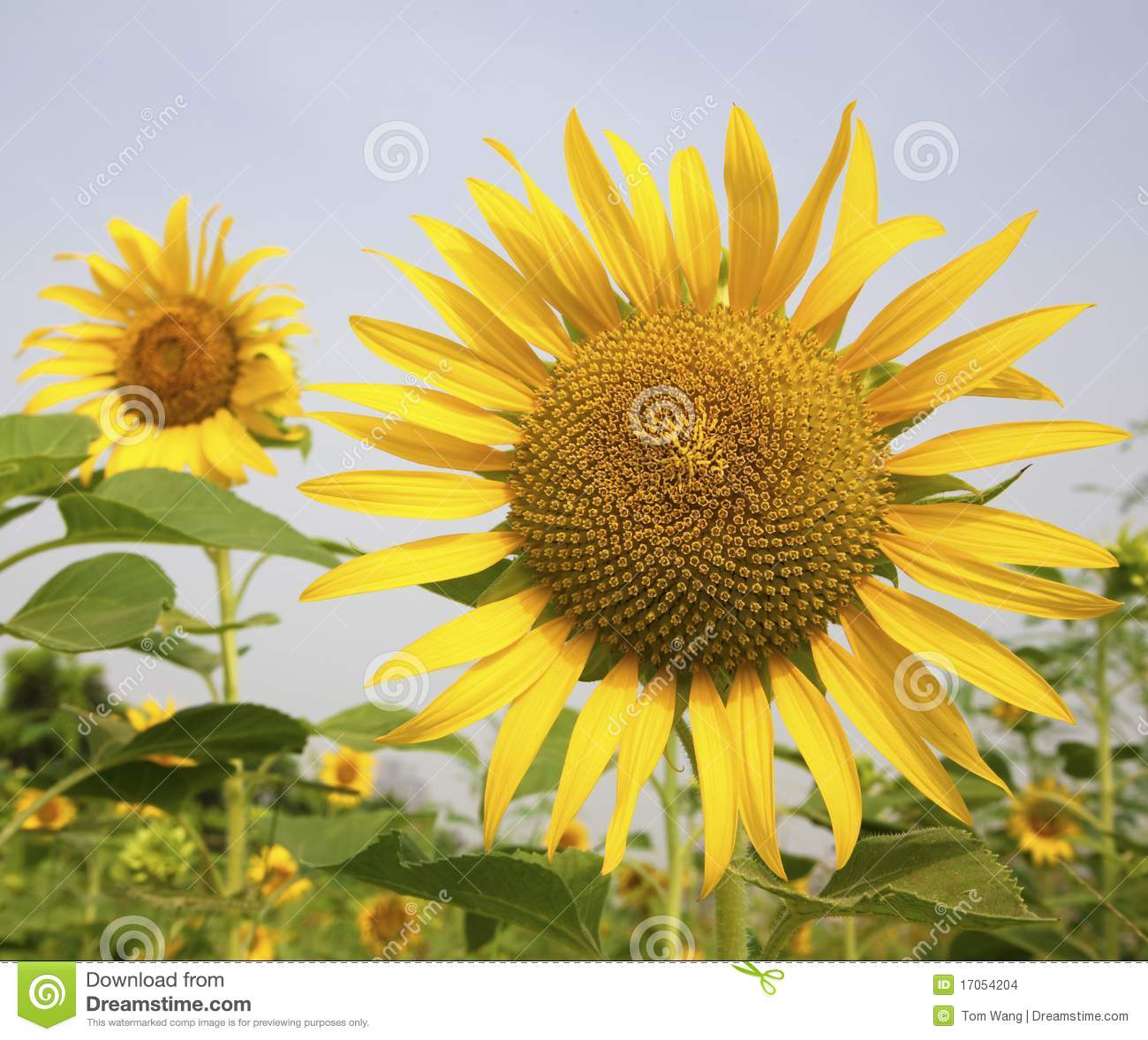 Sunflower In The Garden Stock Images Image 17054204
