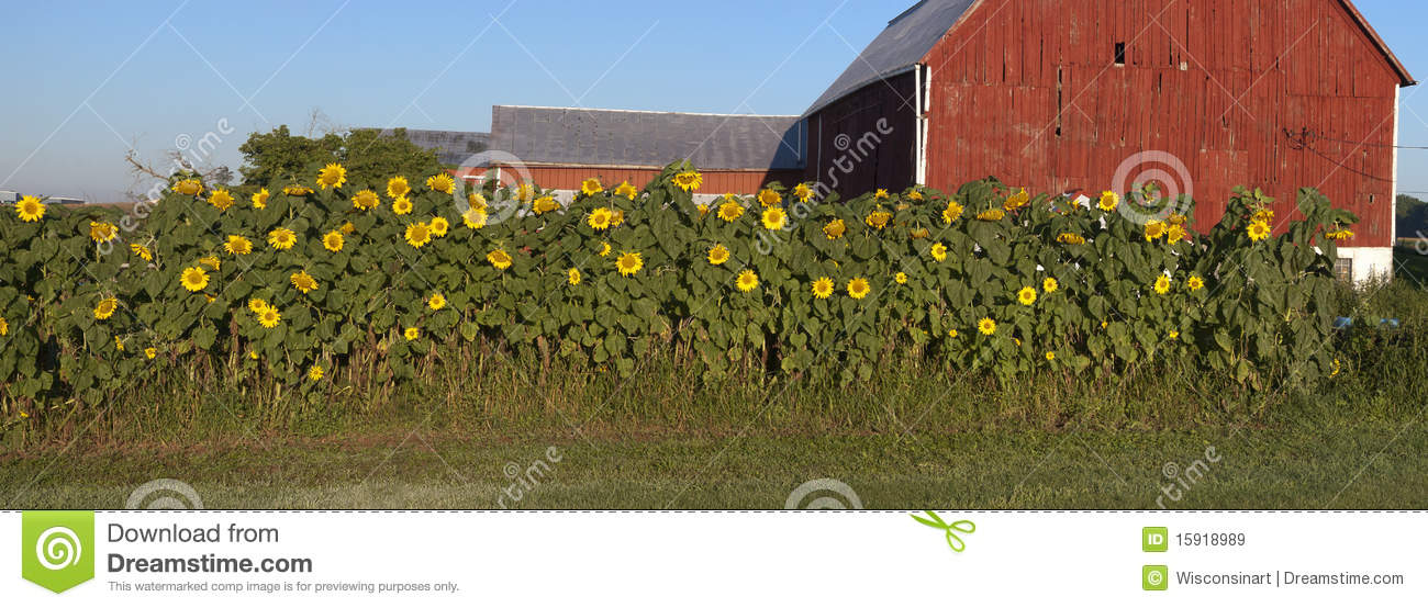 Sunflower Garden Panorama Barn Farm Panoramic