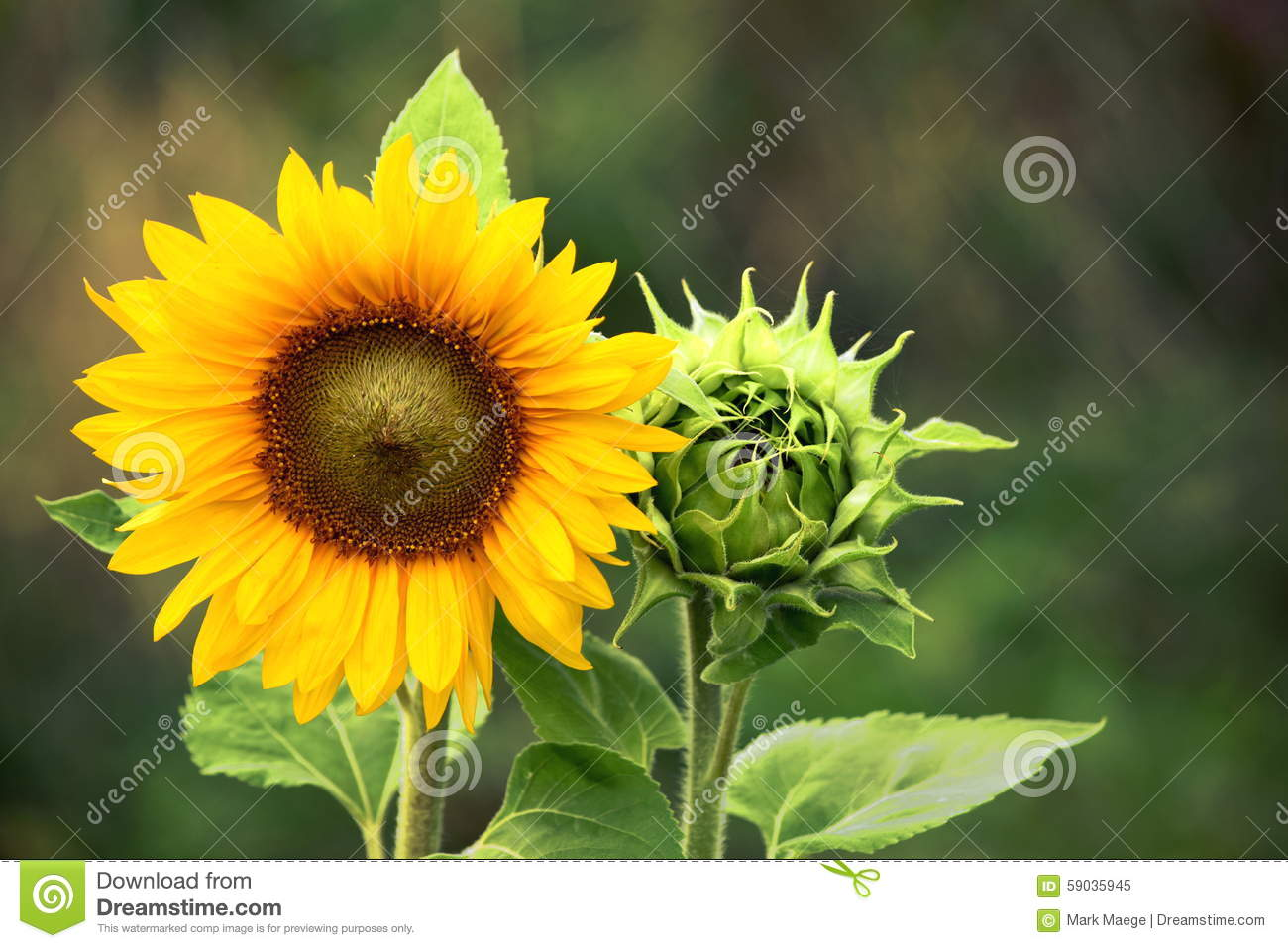 Organic Farming Gardening Sunflower with Green Bud Sunflower Blossom - Healthy Lifestyles Ecology