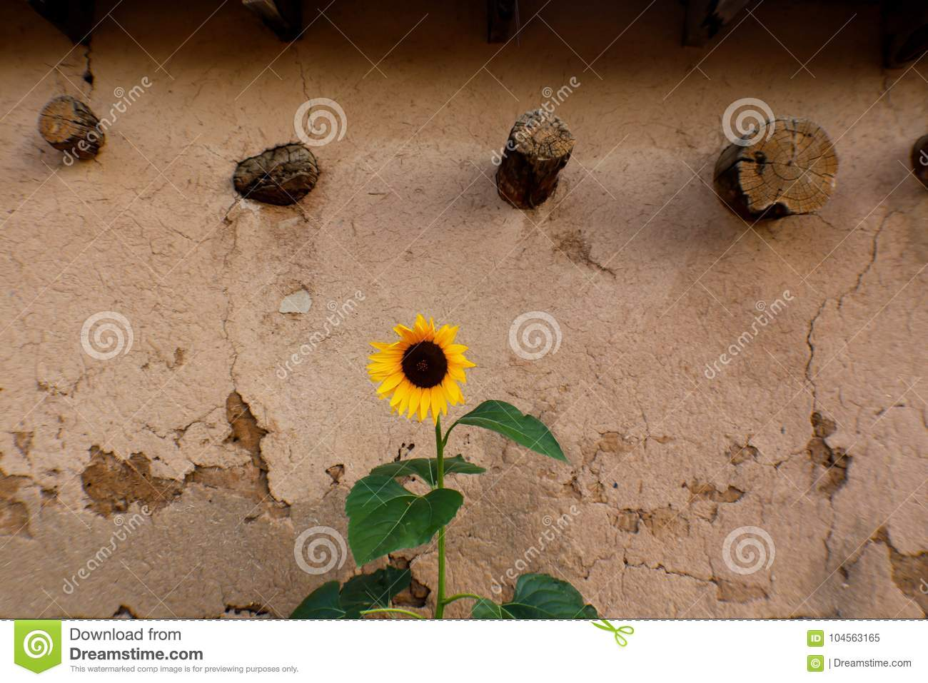 Sunflower Growing Against Stucco Wall In Taos New Mexico Stock Image