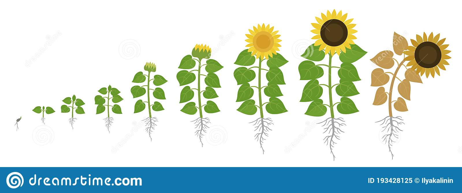 Sunflower Growth Stages. Agriculture Plant Development ...