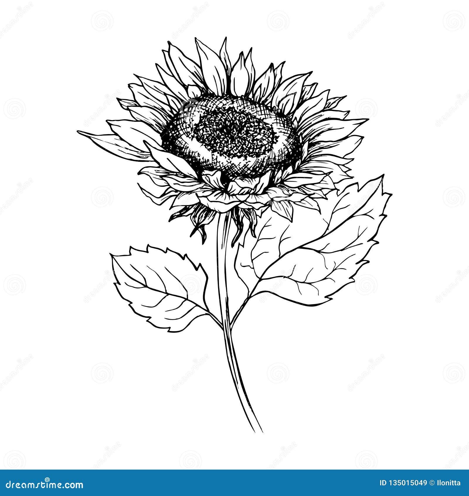 Sunflower Hand Drawn Ink Pen Illustration Stock Vector