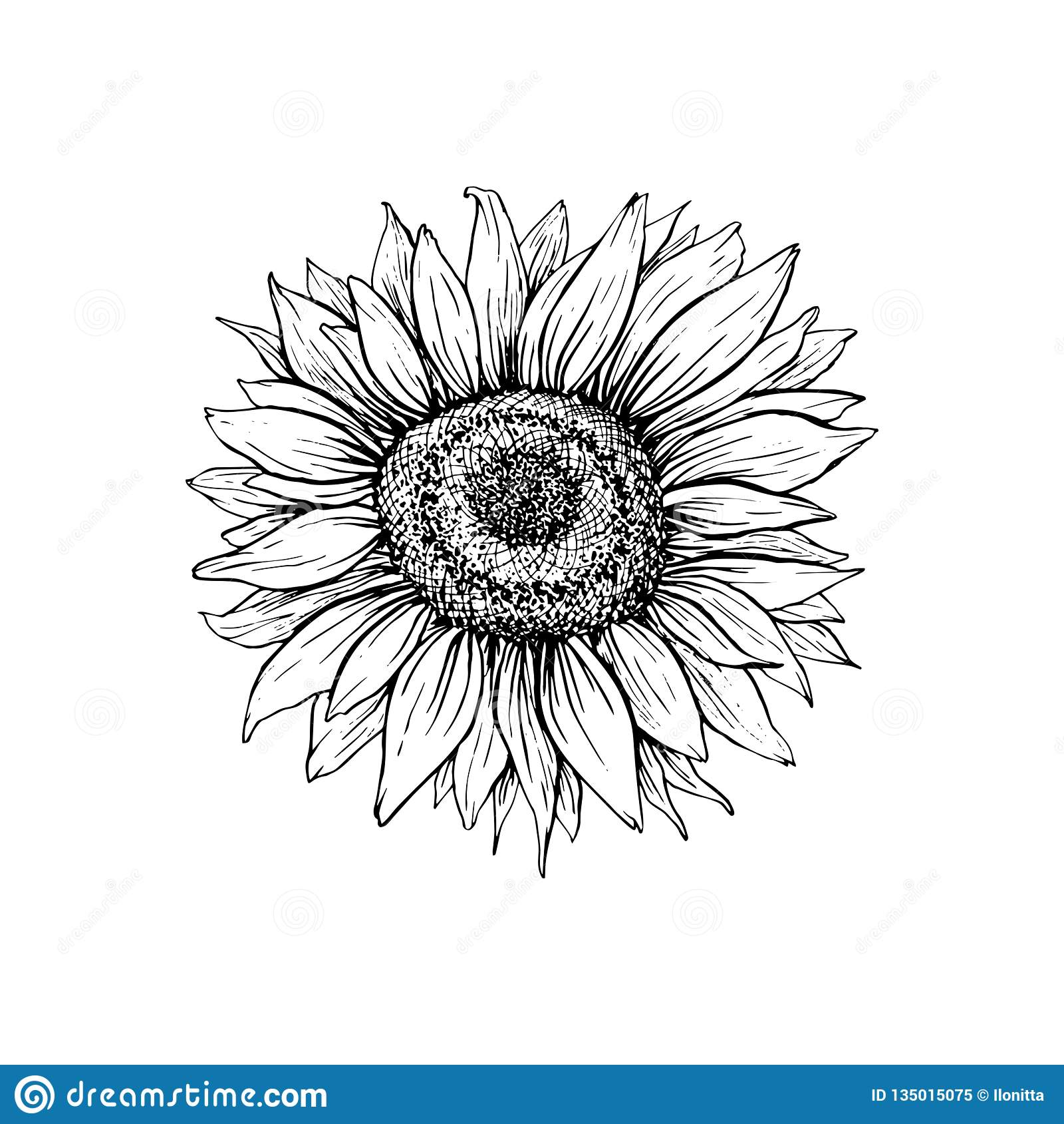 Sunflower hand drawn ink pen illustration stock vector