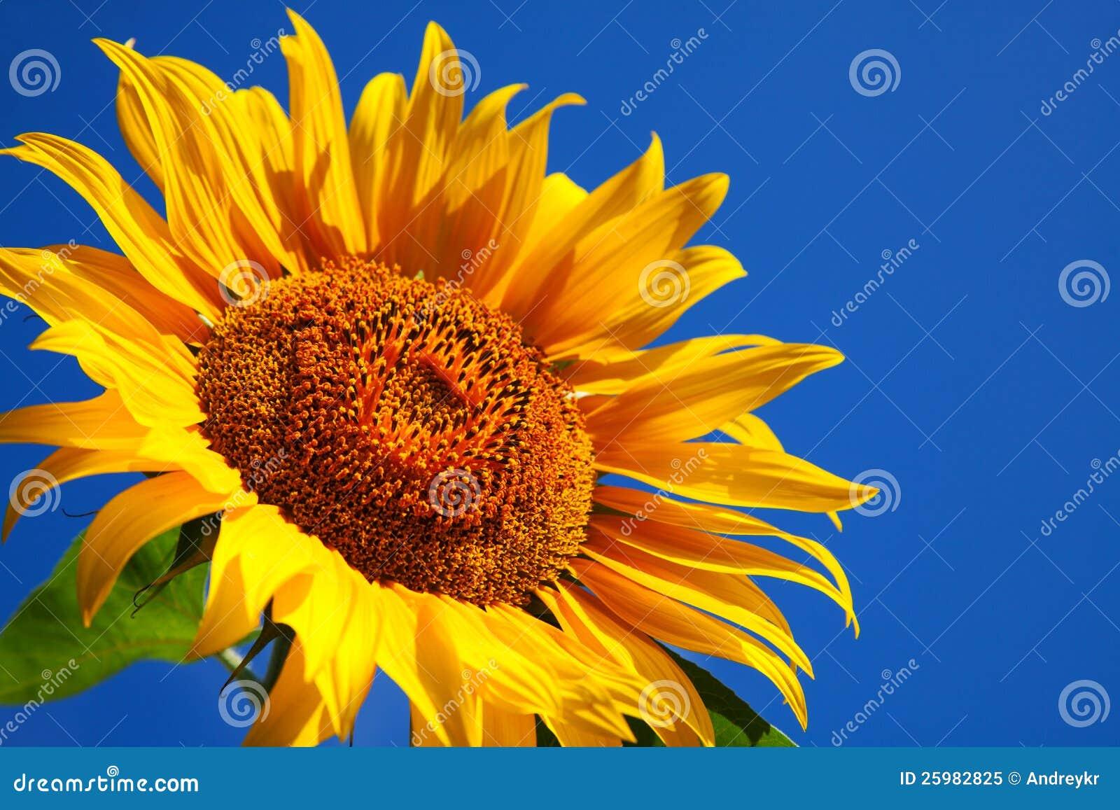 Sunflower head s close up