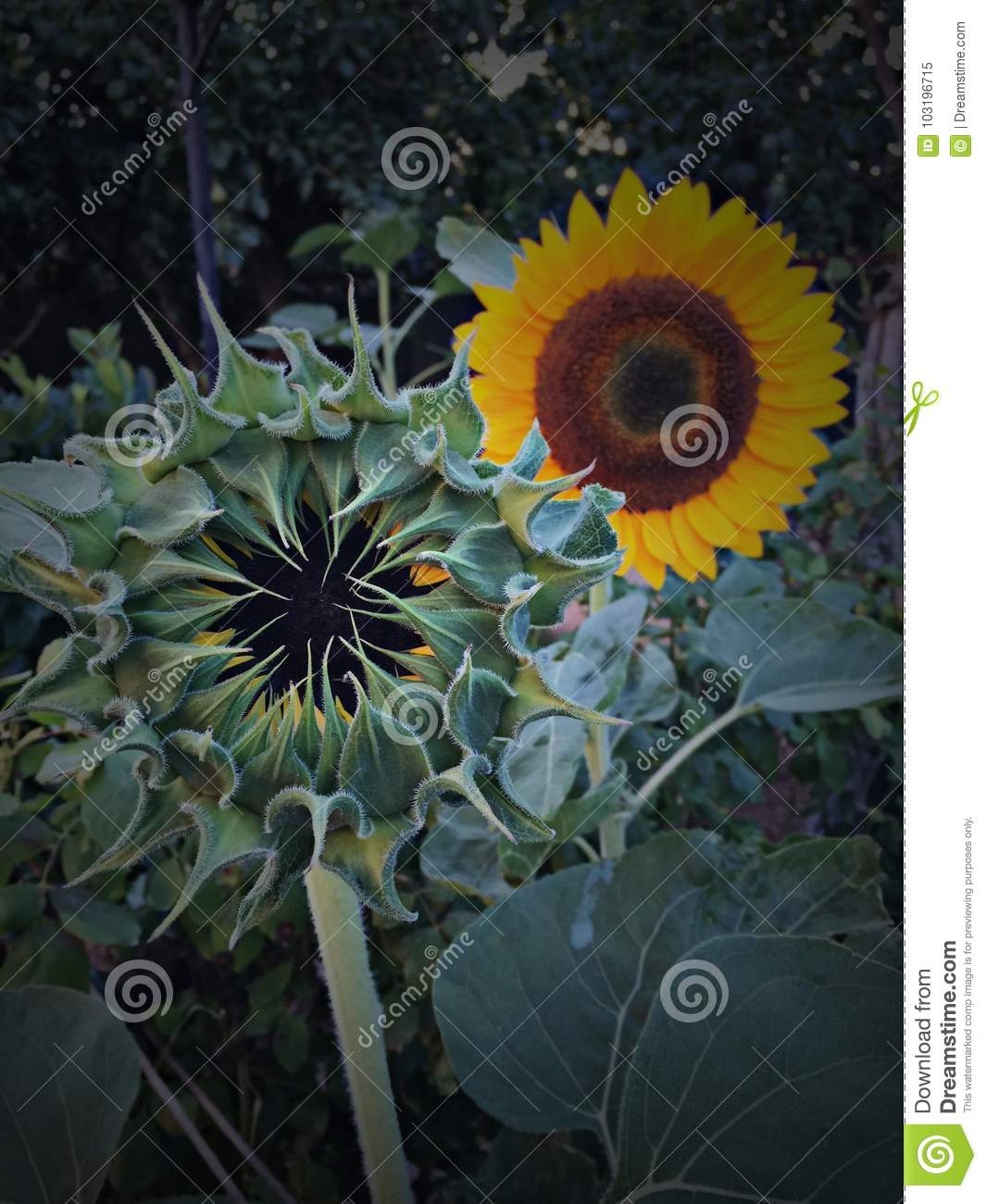 Sunflower Stock Image Image Of Associated Cheer Meaning 103196715