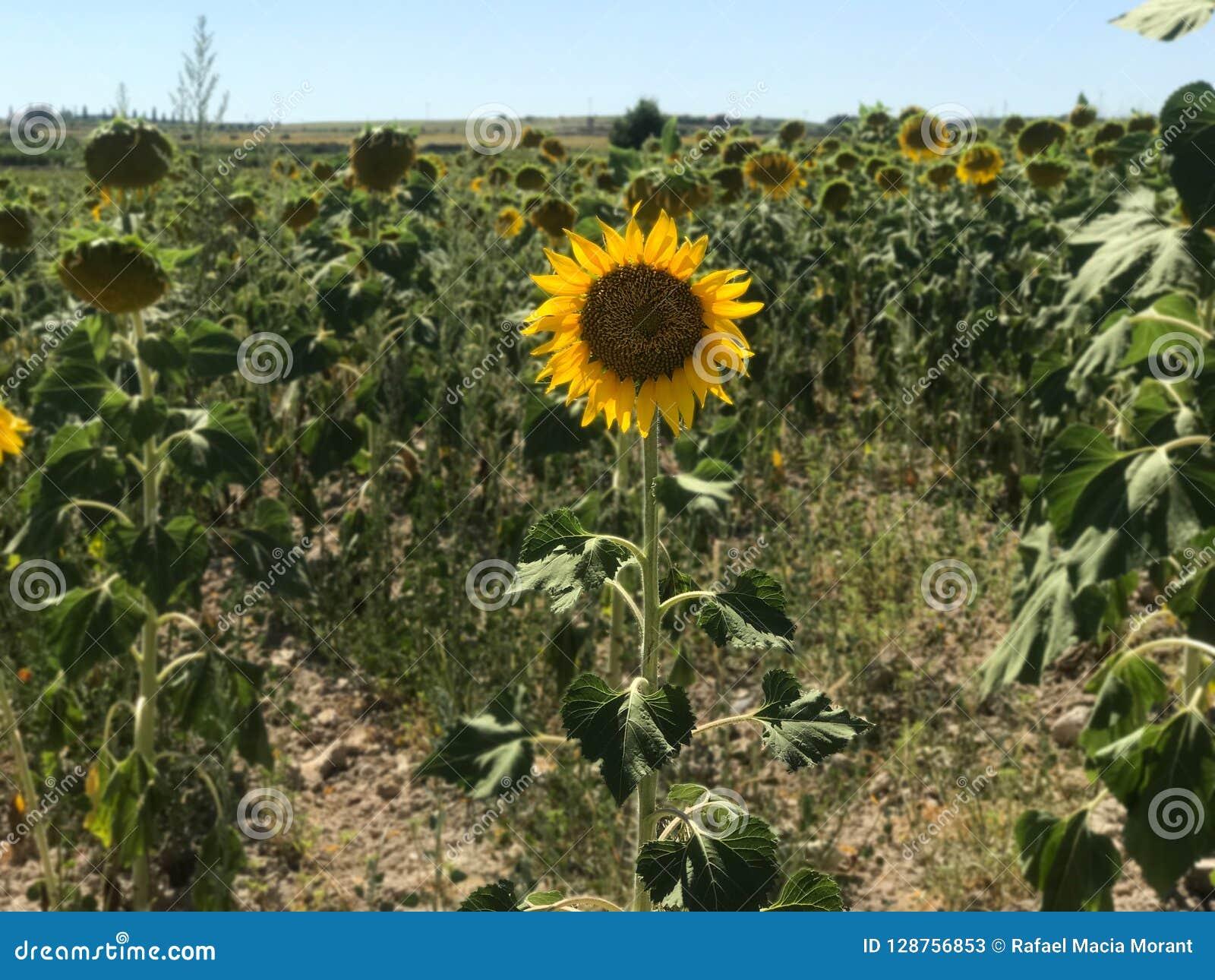 Sunflower at its maximum splendor