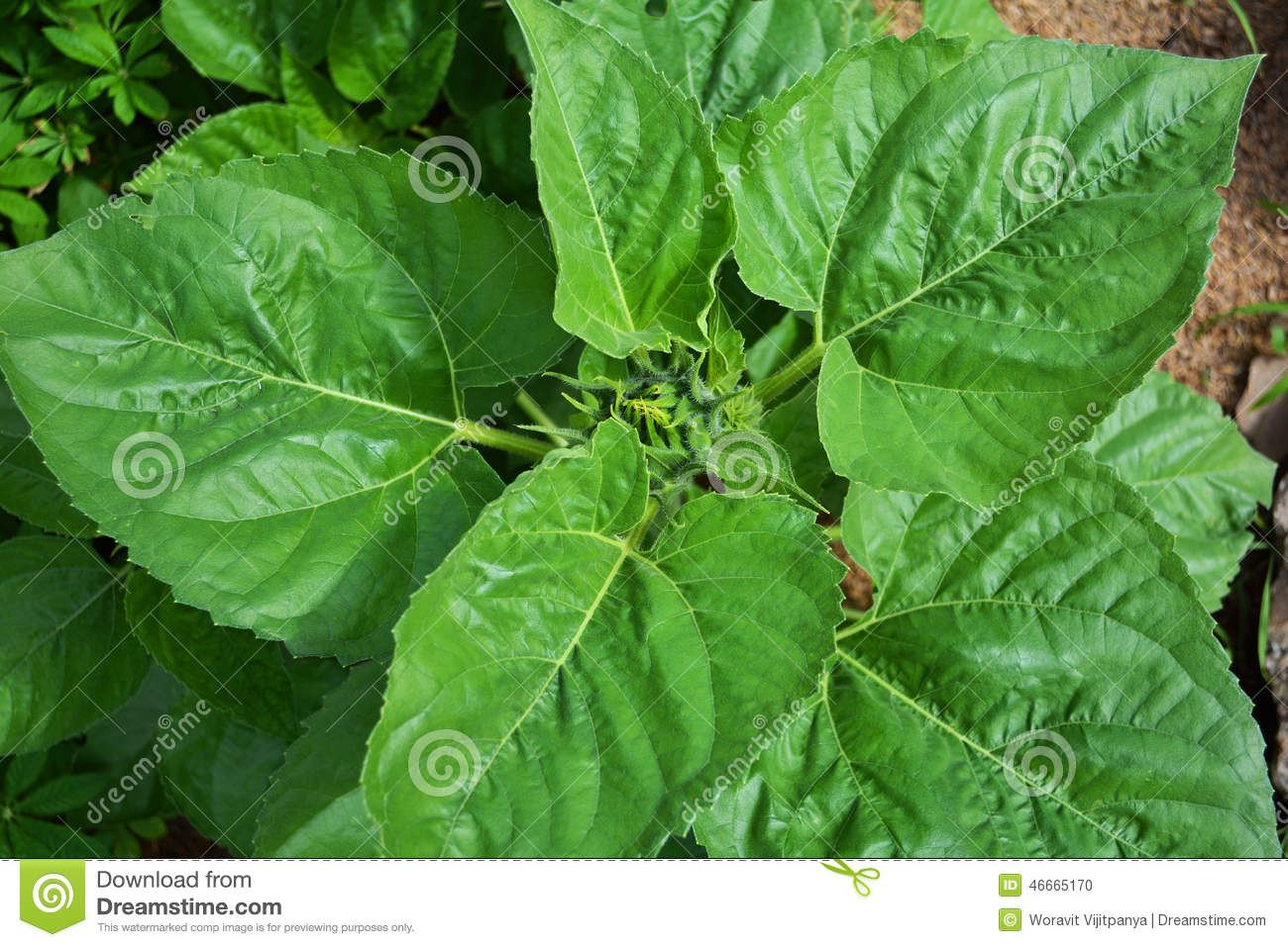 Sunflower Leaves Stock Photo - Image: 46665170