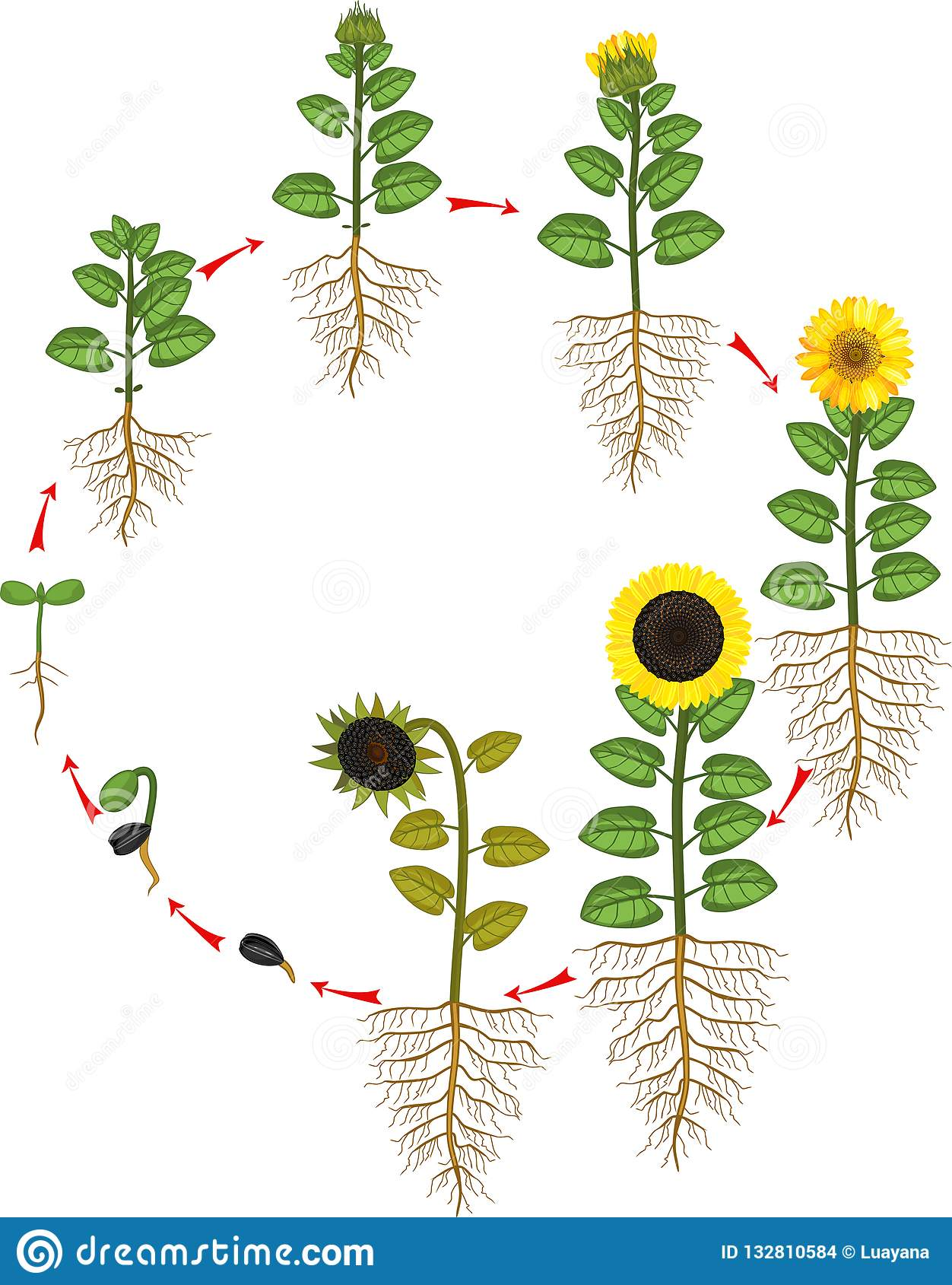 Sunflower Life Cycle. Growth Stages From Seed To Flowering ...