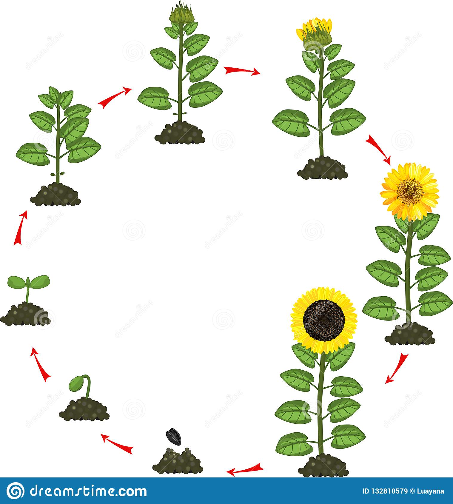Sunflower Life Cycle. Growth Stages From Seeding To ...