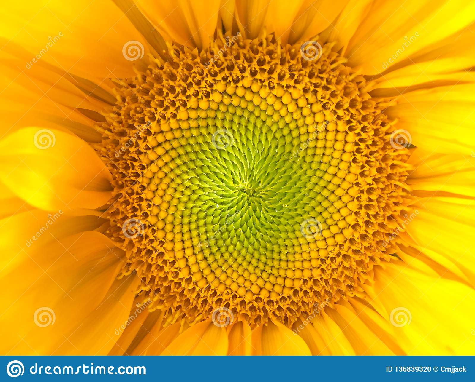 Sunflower natural background. Sunflower blooming. Close-up. Sunflowers symbolize adoration, loyalty and longevity.