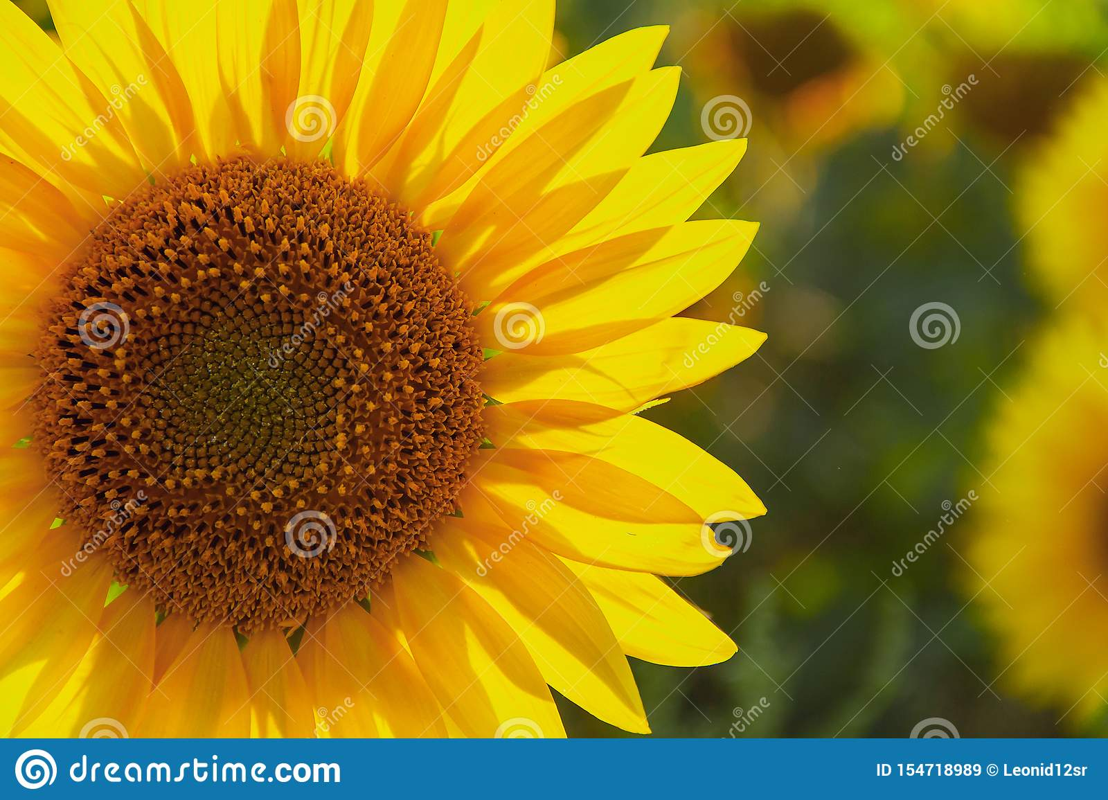 Sunflower natural background. Sunflower blooming. Agriculture field