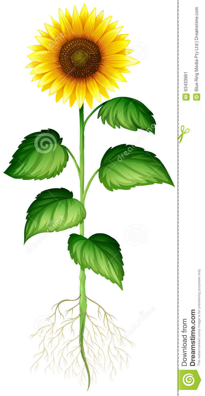 Sunflower Plant With Roots And Stem Stock Vector - Image: 63433961