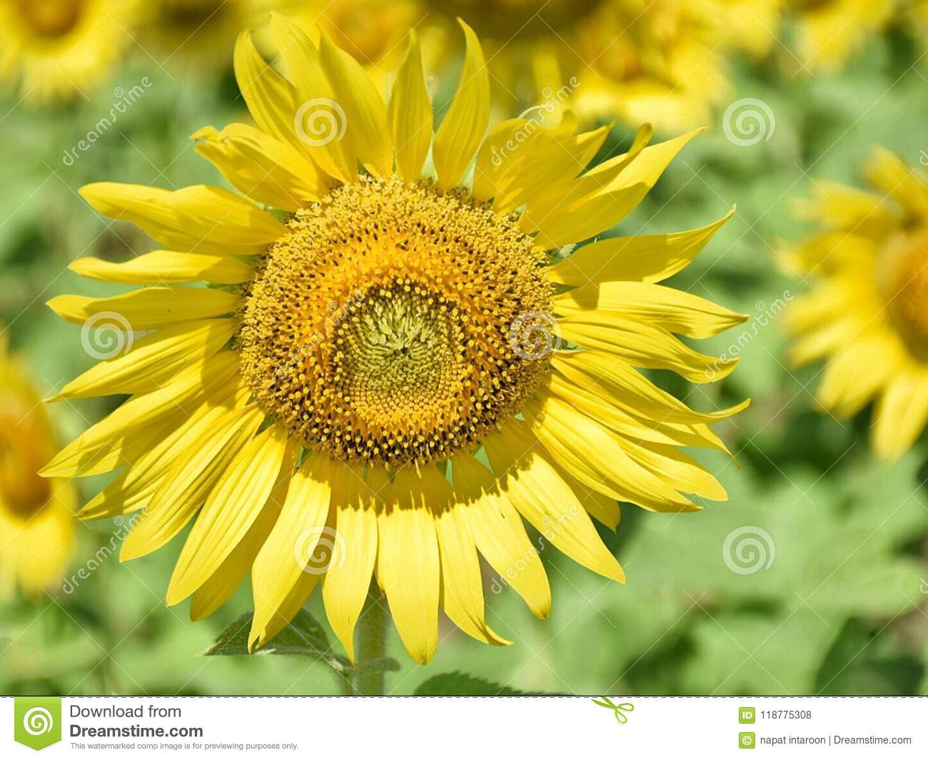 Sunflower On The Tree In The Stock Photo Image Of Vibrant Summer