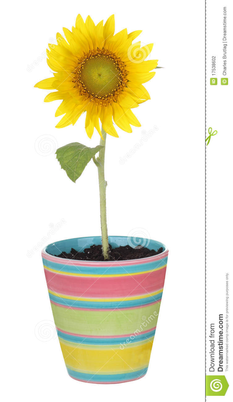 sunflower in a pot stock photography image 17538602