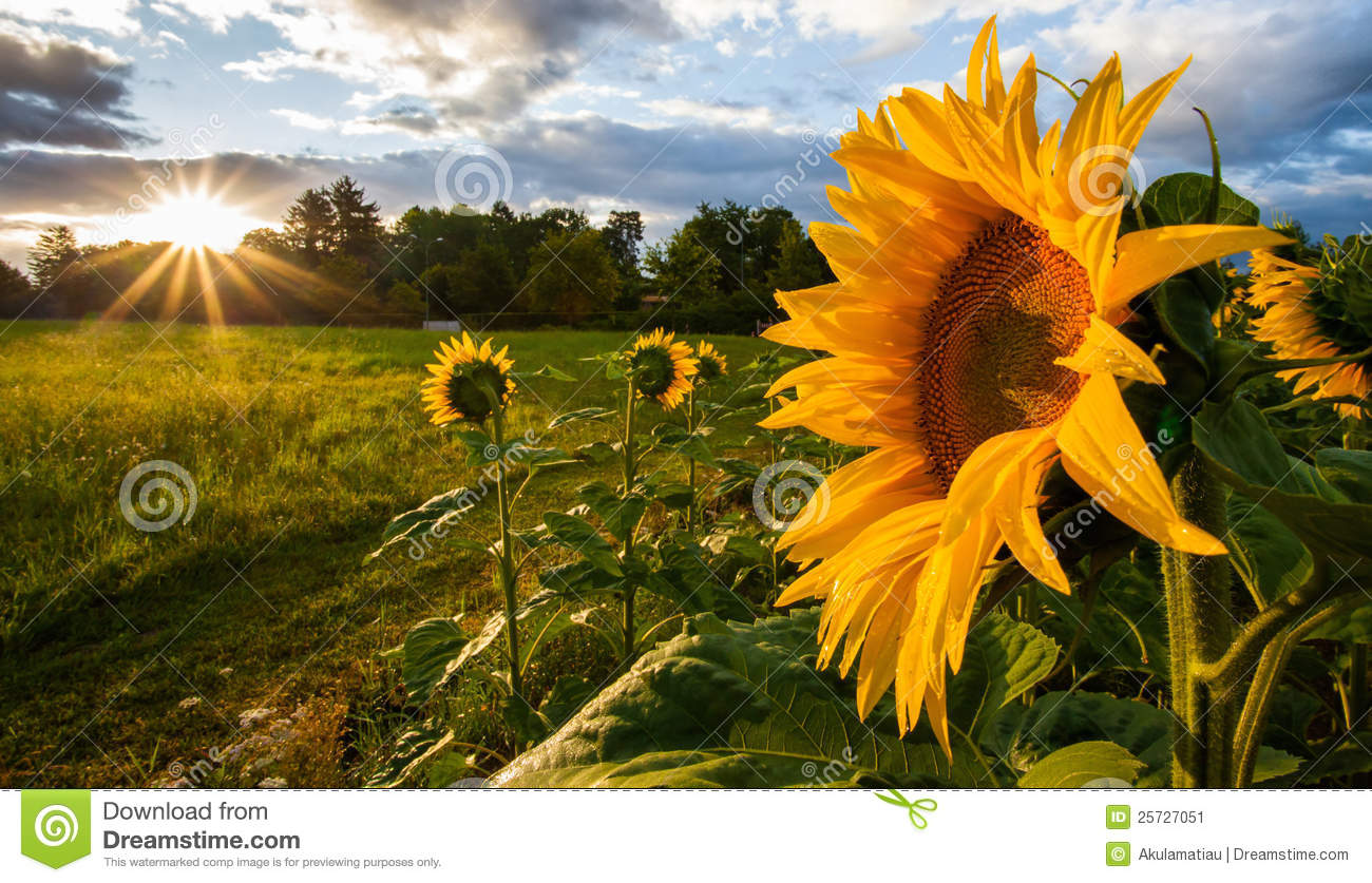 Sunflower And Rising Sun II Stock Image - Image: 25727051