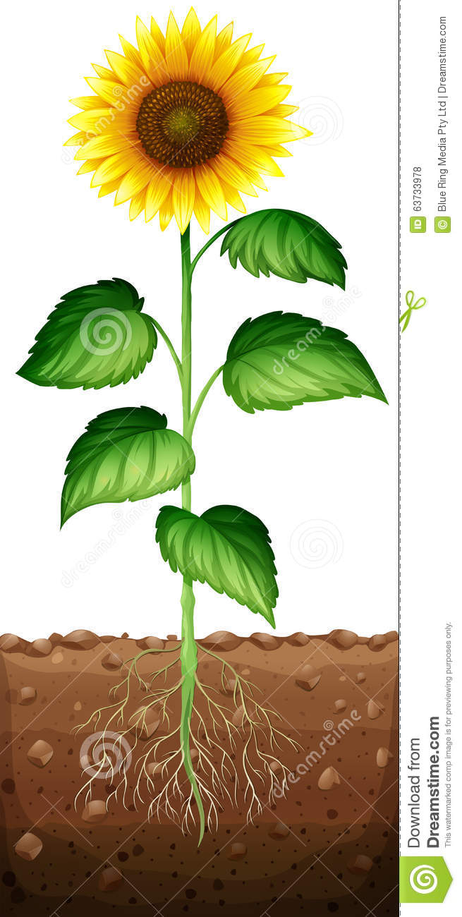 sunflower with roots underground stock vector