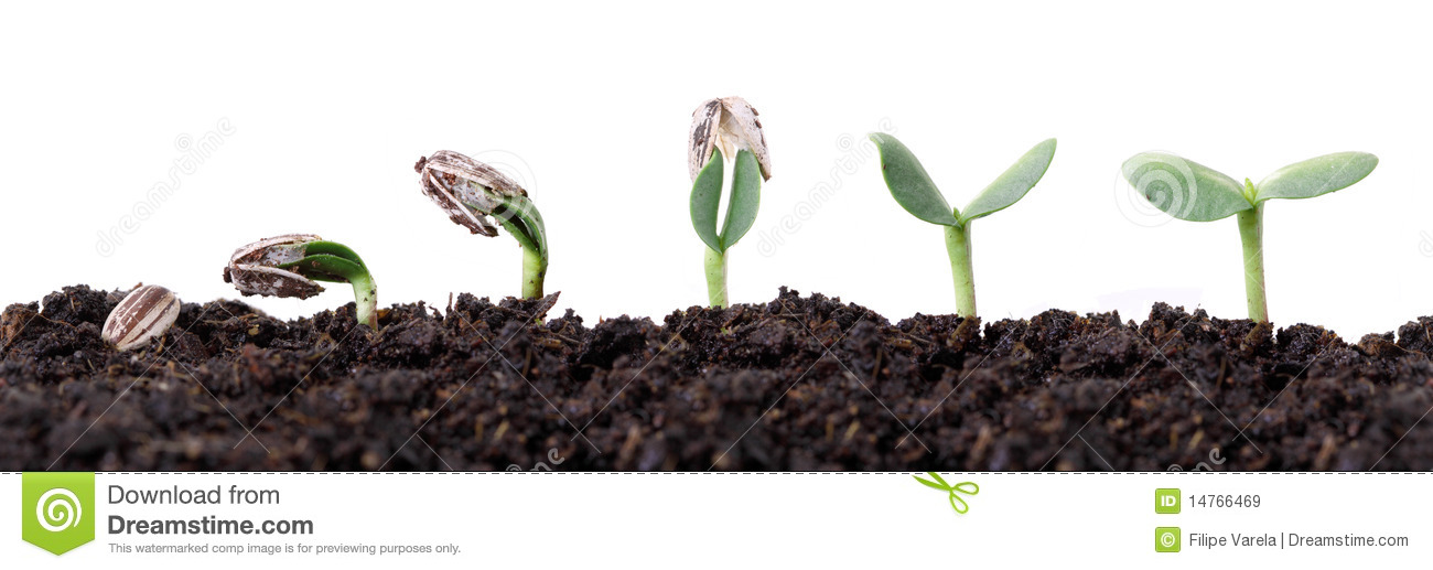 Royalty Free Stock Images Sunflower Seed Germination Different Stages Image14766469 on Plant Life Cycle Print