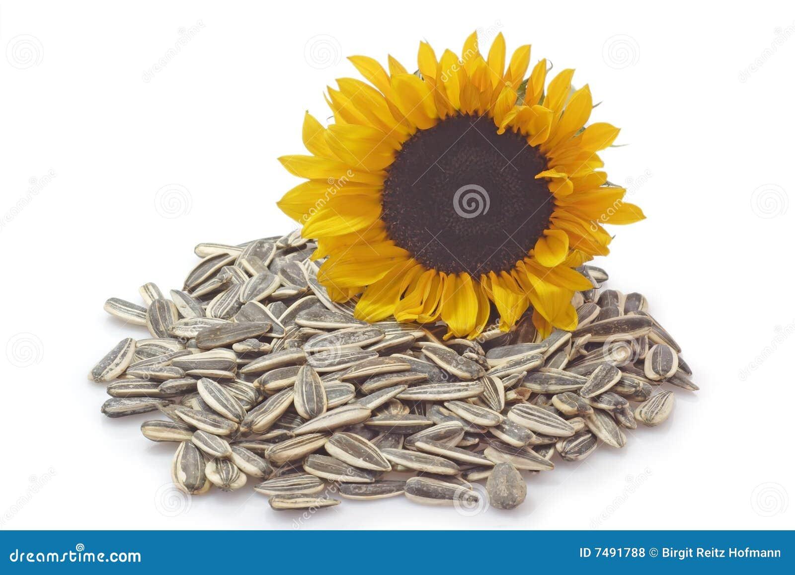 david sunflower seeds clipart - photo #10