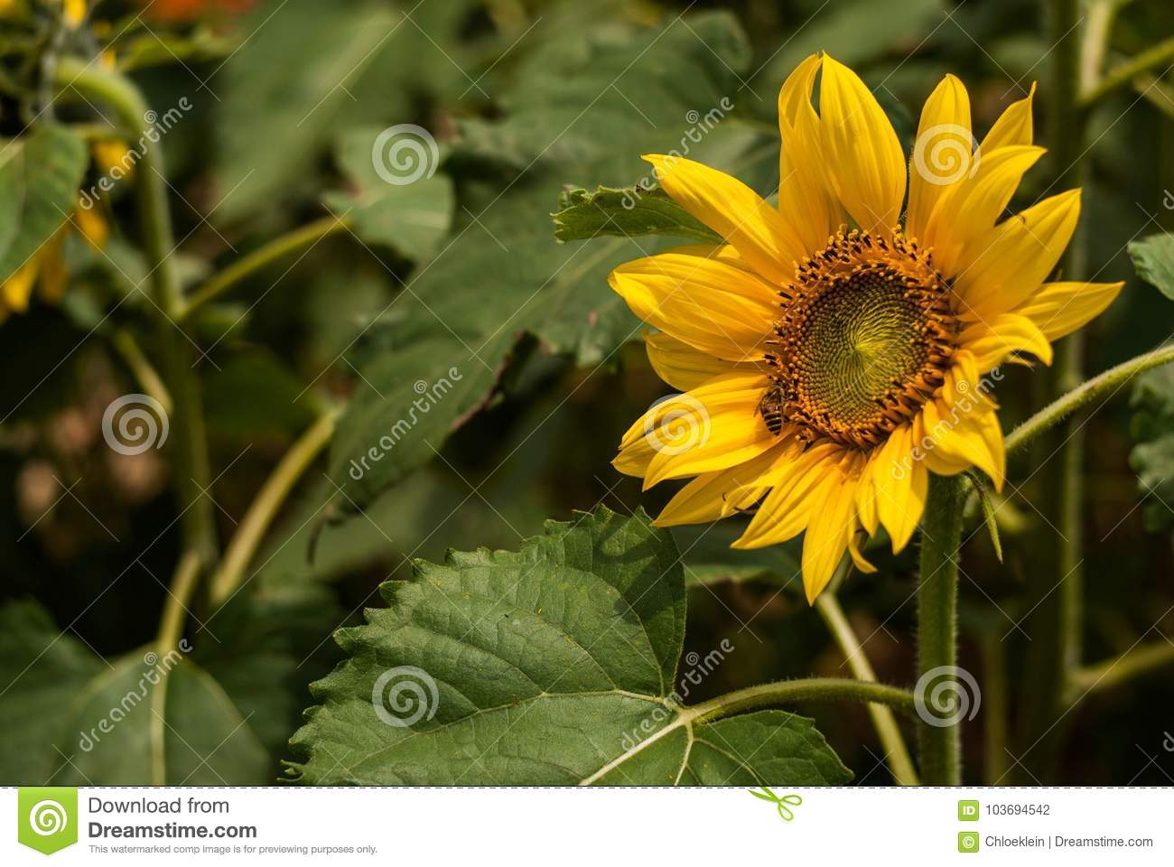 Sunflower In Spring Stock Photo Image Of Plant Grasslands 103694542