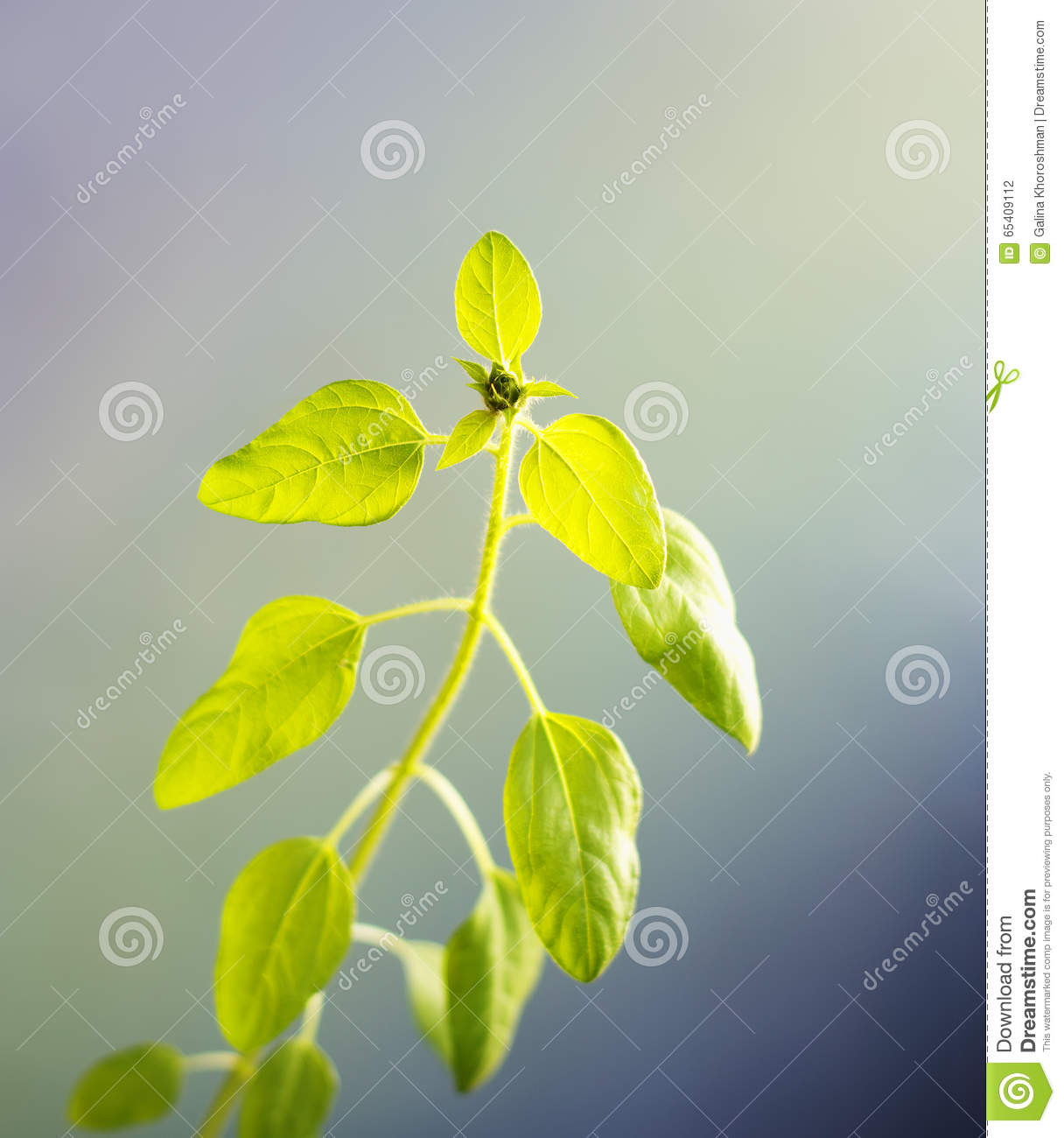 Sunflower Sprout In Opposite Light Closeup Stock Photo - Image of ...
