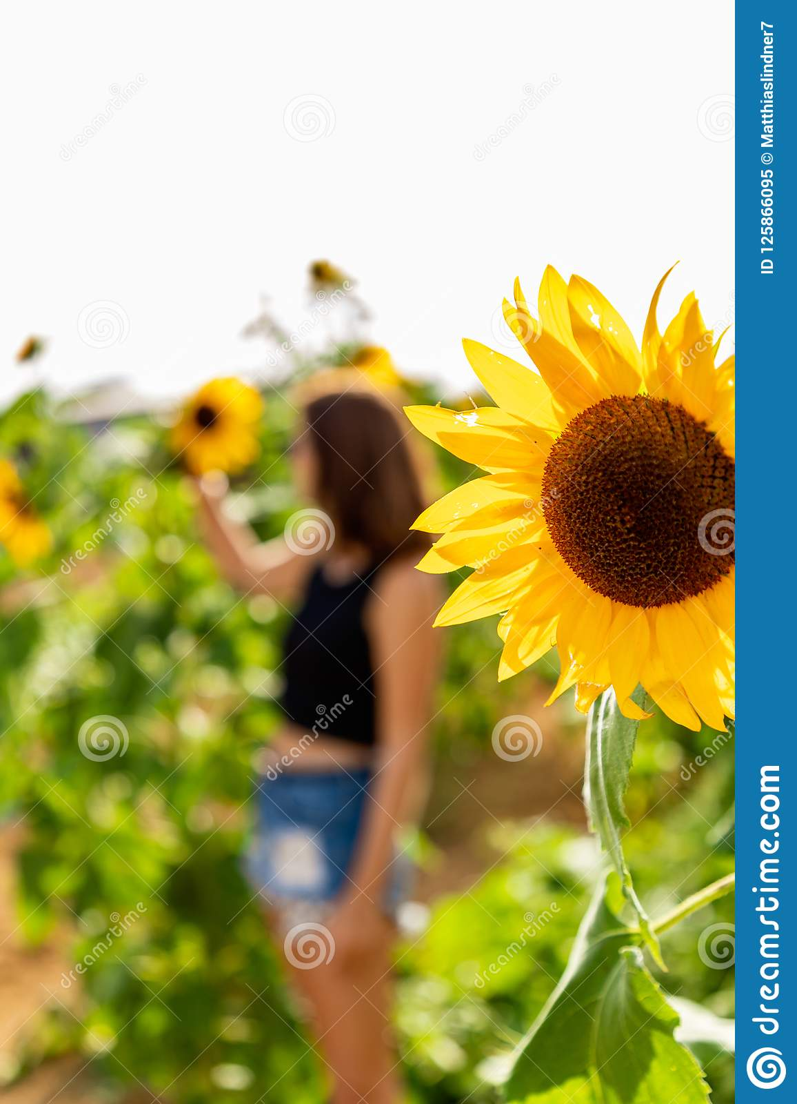 Sunflower in the sunlight with young woman in the background