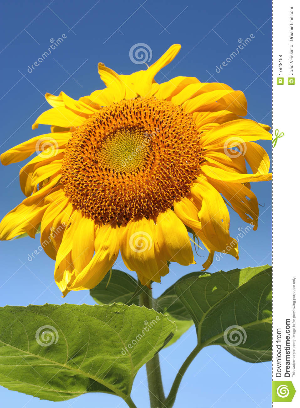 Sunflower on a sunny summer day