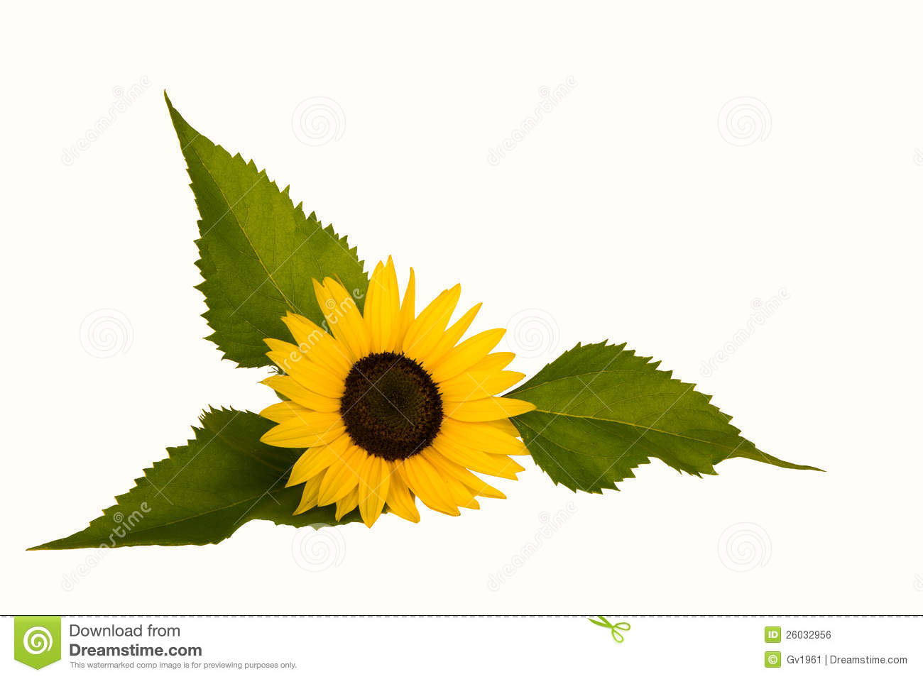 Sunflower With Three Leaves Royalty Free Stock Image