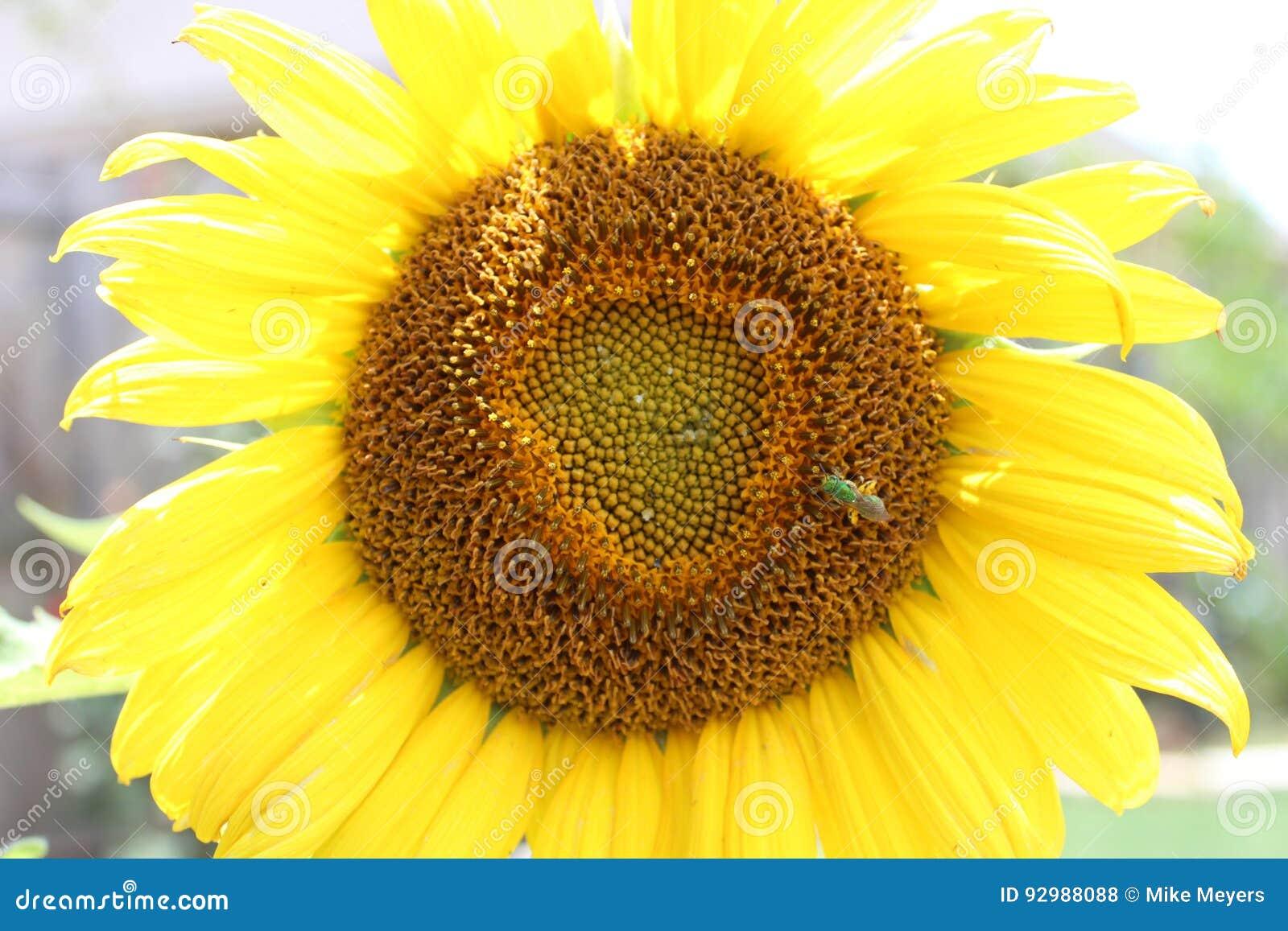 Sunflower stock photo. Image of gardening, garden, nature - 92988088