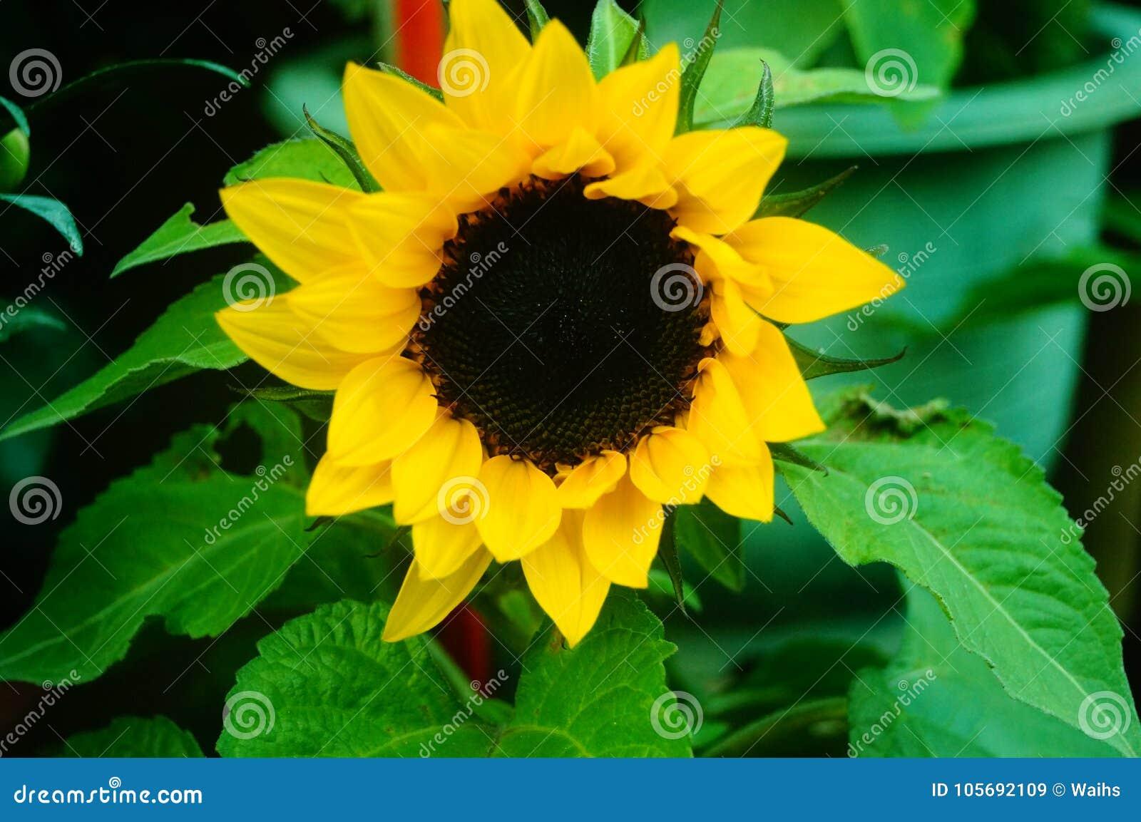 Sunflower very beautiful flowers stock image image of close download sunflower very beautiful flowers stock image image of close petals 105692109 izmirmasajfo