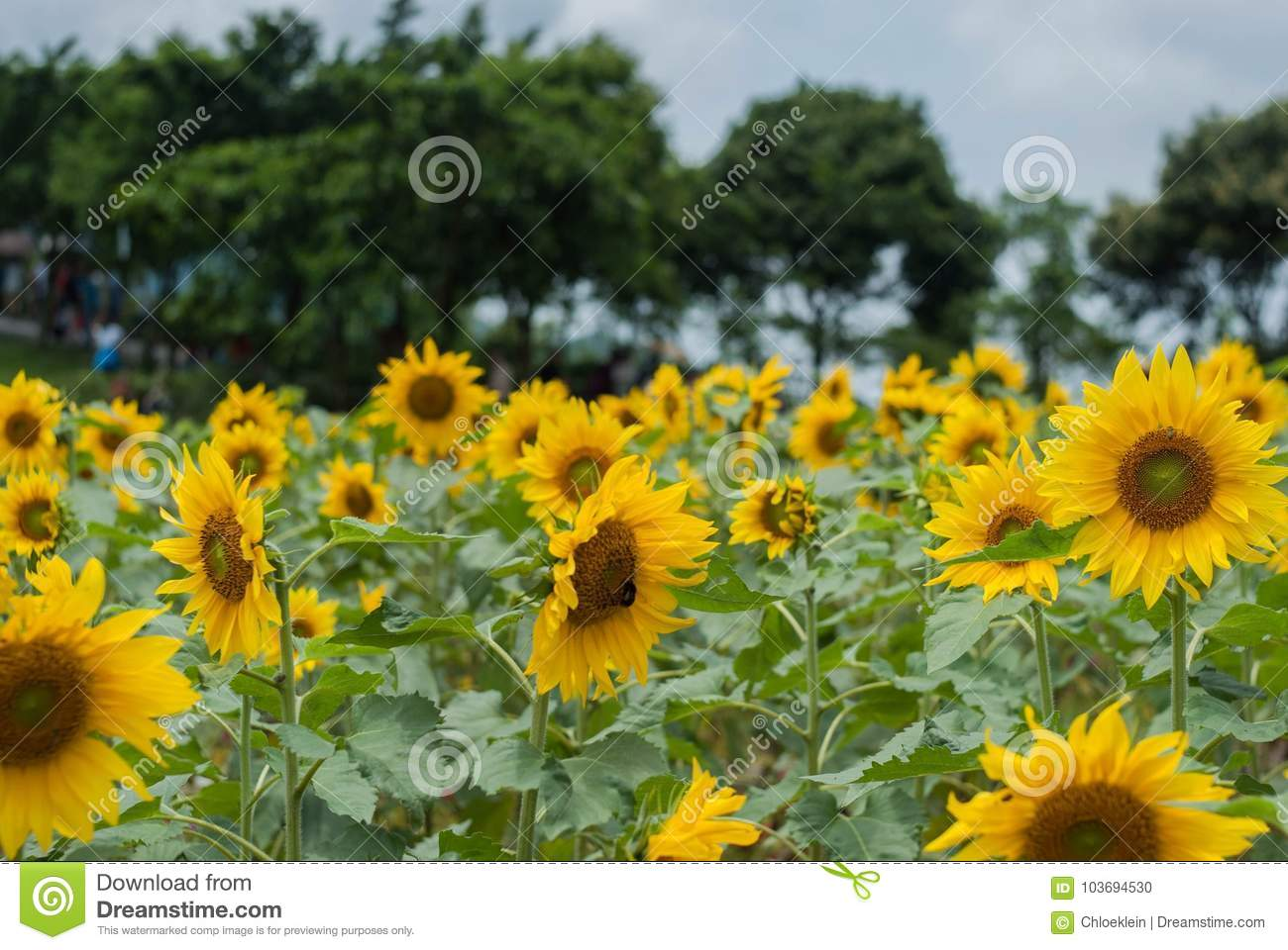 Sunflower in spring stock photo image of east landscapes 103694530 a sunflower is a very tall plant with large yellow flowers oil from sunflower seeds is used in cooking and to make margarine mightylinksfo