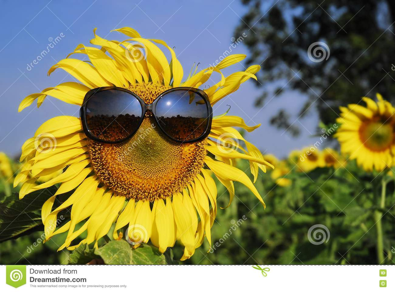 sunflower wearing sunglasses stock photography